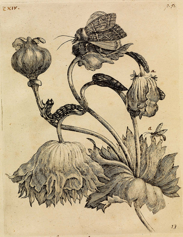 cropped engraving of opium poppy with associated grubs & moths